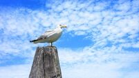 Seagull swoops in and attacks swimmer in Kerry