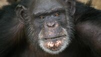 QUIRKY WORLD ... Booze-loving apes may help explain why we love a tipple