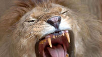 West African lions critically endangered