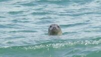 Kerry fishermen call for cull to reduce damage by seals