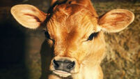 Almost 30,000 male calves slaughtered at 10 days old last year