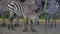 Stripes may not protect zebras after all