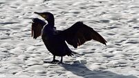 No need for a cull of cormorants