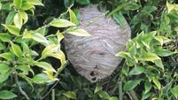 Wasp's nest provides a sting in the tale as summer ends