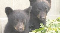 Poignant tale of three bears