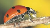 Ladybirds'survival of the brightest