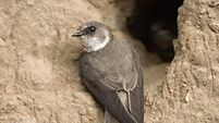 Nature Table: Sand Martin