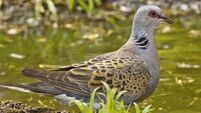 Turtle dove numbers take a dive
