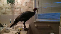 How much damage can one wild turkey in a bathroom cause?