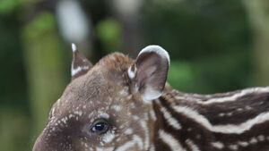 WATCH: What will we call Fota's new baby tapir?