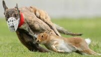 Hare to lion comparison is a red herring