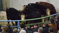 Steady trade in cattle, it's business as usual down at the marts as BSE scares subside