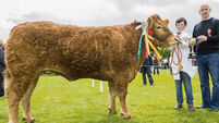 Limousin overcomes stiff opposition to win beef interbreed title at Bandon