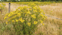 Denis Lehane: How I won the Battle of the Ragwort