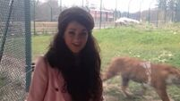 Voice contestant from Cork sings Roar to a prowling tiger at Fota