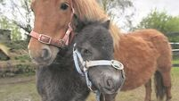 May Day miracle foal becomes one of Ireland's smallest horses