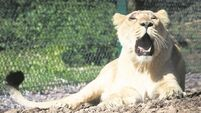 Two female lions to be pride of Fota Wildlife Park