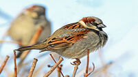 QUIRKY WORLD ... Offspring suffer when sparrows upset love nest