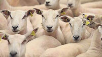 QUIRKY WORLD ... On the lamb: Police hunt down sheep robbers
