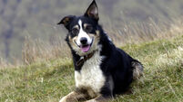 QUIRKY WORLD ... 'Homing sheepdog' back after 390km journey