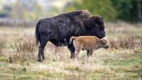 Bison coming 'home' to US reserve