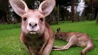 QUIRKY WORLD ... Zookeeper jumps at the chance of being a 'mum' after joey is orphaned