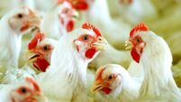 Hens at risk from feral cats