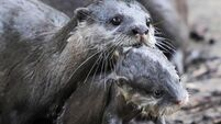Otters feel safe in the sunshine