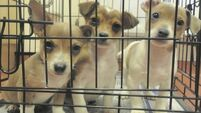 Inundated Dublin animal shelter issues puppy appeal looking for good homes for 60