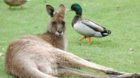 Suspect 'discussed packing kangaroo with explosives' in Melbourne