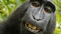QUIRKY WORLD ... There's no monkey business in taking a selfie