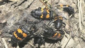 Sexton beetle's responsible parenthood is rare in the insect world