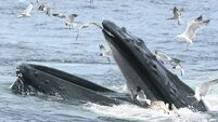 A look at the huge appetites of whales