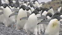 The Adélie penguins of Antarctica in great danger