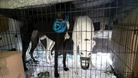 Irish Greyhound Board to investigate after 12 dogs found in cramped cages at Dublin Port