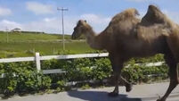 Unusual beast spotted wandering around Co Mayo seaside town