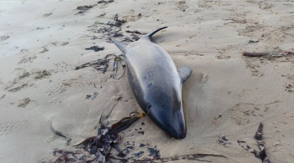 The dead porpoise discovered in west Waterford