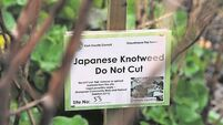 Call for national taskforce as Japanese knotweed delays housing project