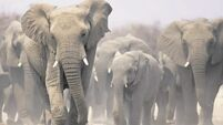 Elephant numbers fall by 100,000 in decade