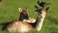 Rutting deer are out of control, claim councillors