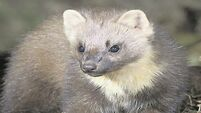 Pine martins: one of Ireland's rarest wild mammals being portrayed as a blood-thirsty lamb kille