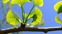 The 170m-year-old ginkgo tree has been used as a medicinal herb