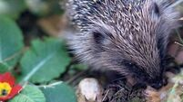 We need to lure hedgehogs back to our gardens