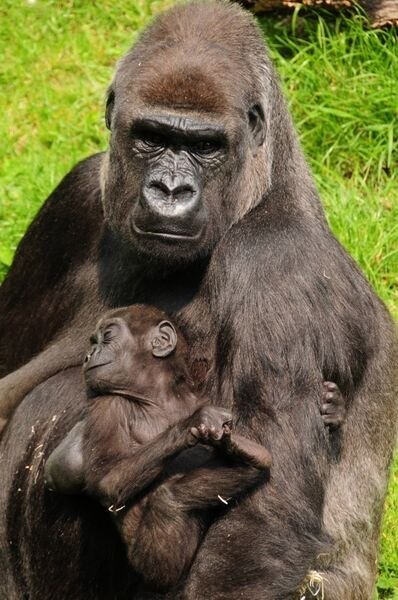 Great apes, like gorillas and humans, hold their babies on the left, so the cradling preference probably has an ancient evolutionary lineage.
