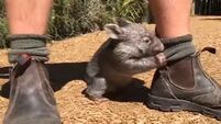 This adorable wombat baby is the cutest thing you'll see all day