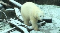 Watch Nora the polar bear frolic in Portland snow