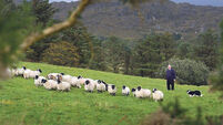 Irish sheep and suckler sector in urgent need of EU relief