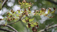 Dieback disease continues to spread through our ash trees