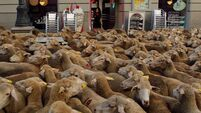 Study reveals extent of sheep mortality
