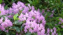 Managing the  spread of wild rhododendrons